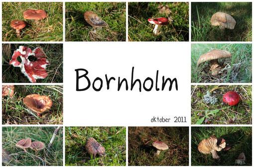 A la chasse aux champignons dans les sous-bois de Bornholm, au bord de la mer