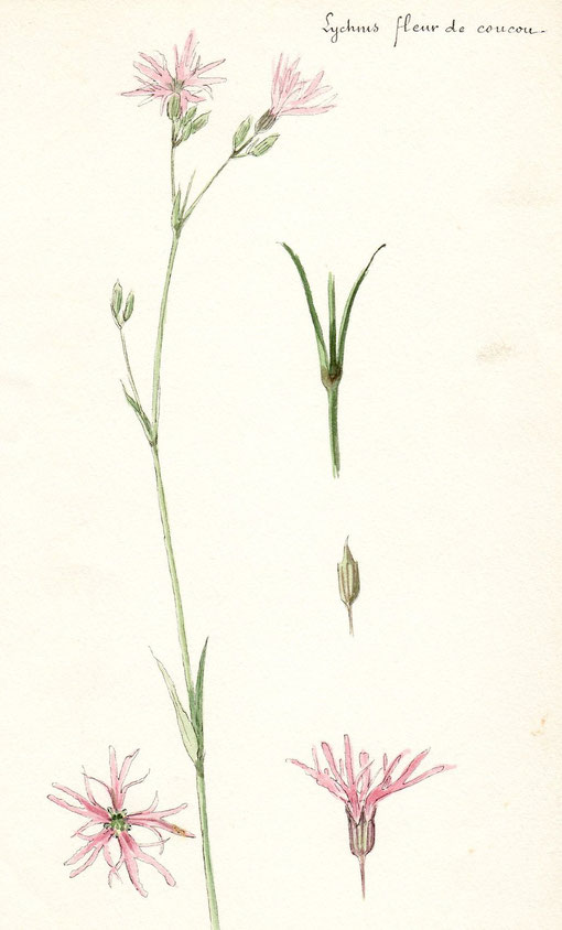 Lychnis fleur de coucou