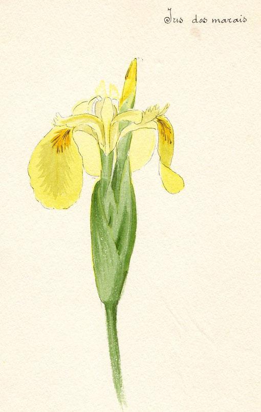 Son herbier laonnois en 50 aquarelles site jimdo de laoncien laonnois - Polygala myrtifolia feuilles jaunes ...
