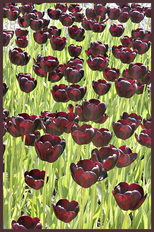 dunkle Tulpen