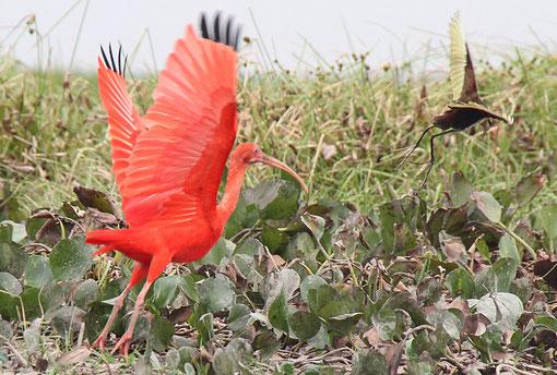 roter Ibis beim Flug