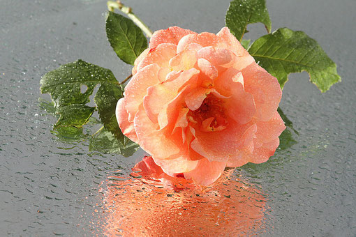 Rose auf einem Spiegel