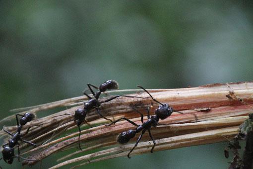 24 Stunden Ameise, deren Gift einen Tag lang grosse Schmerzen bereitet