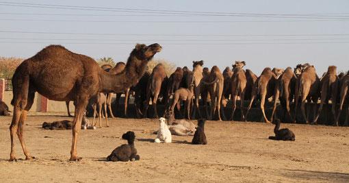 Kamelzuchtfarm bei Bikaner
