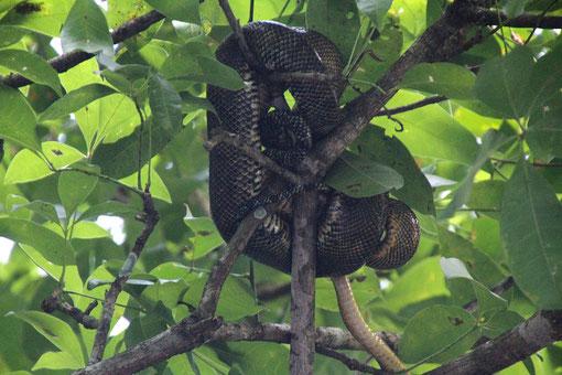 2 Schlangen im Baum