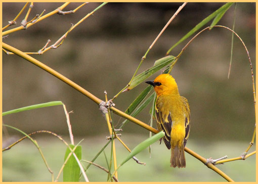 Vogel in Ghana