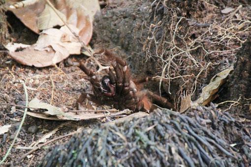 Vogelspinne im Urwald