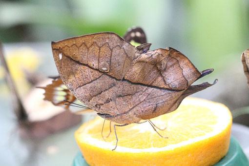 Schmetterling im Schmetterlingshaus in Hamm
