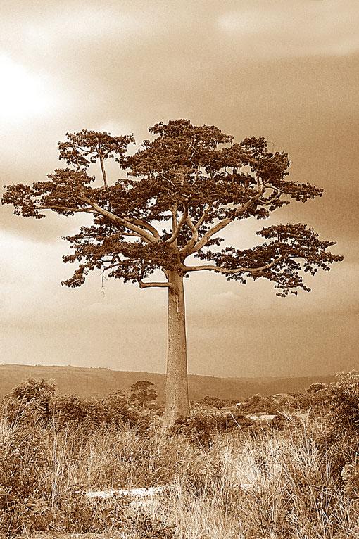 riesiger Baum in Afrika