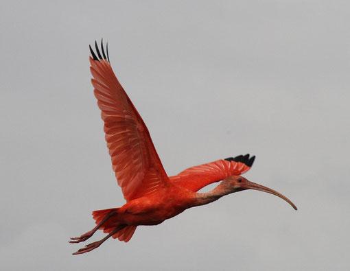 roter Ibis auch Scharlachsichler genannt