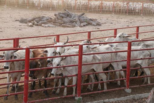 Viehzucht in Venezuela