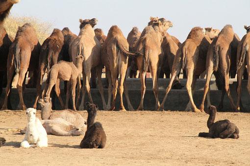 Die Kamele werden bei Ümzugen eigesetzt