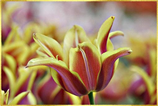 geöffnete Blüte