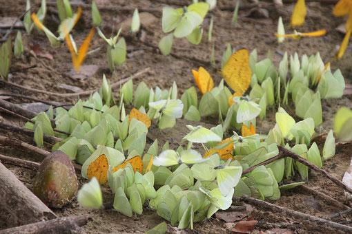 sehr viele Schmetterlinge