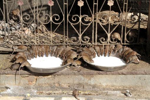 Ratten im Rattentempel in Indien