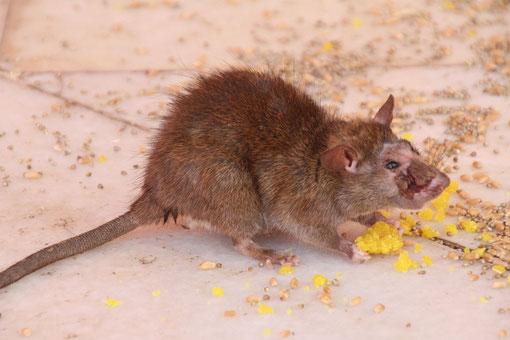 ekelige Ratte