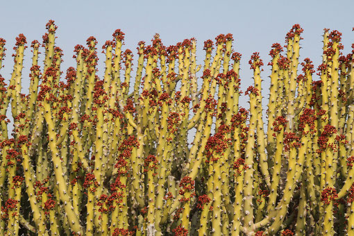 Kaktusgewächse