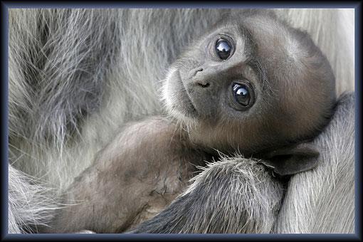 Affenbaby in Indien