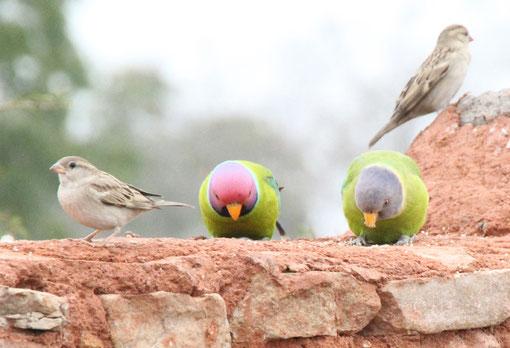 Papageienart