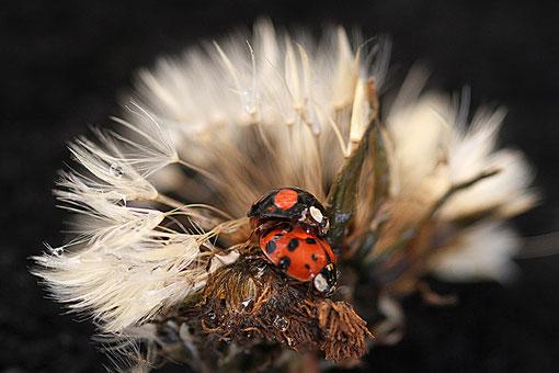 Käfer auf einer Pusteblume
