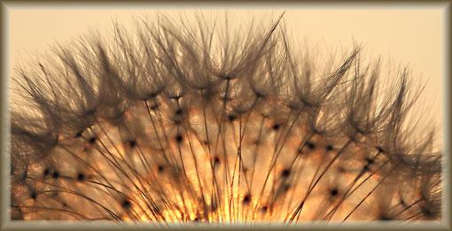 pusteblume beim sonnenuntergang