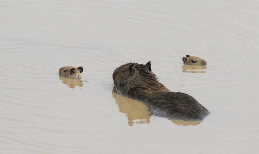 Wasserschwein mit Babys