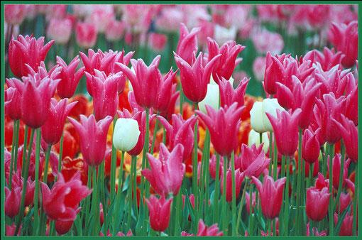 einzelne weisse Tulpen
