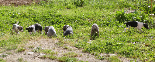 Chiots whippets de 6 semaines