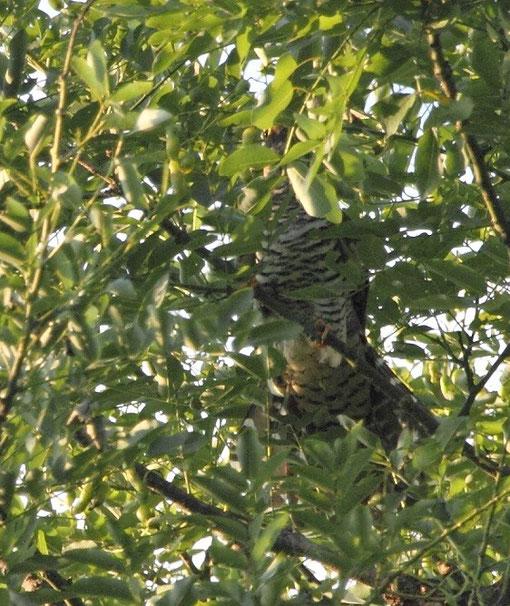 ●身を隠すツツドリ。葉の間から目が見えています。10月17日に撮影