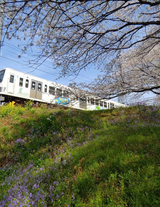 ●野の花と電車(桜といっしょに諸葛菜や菜の花が咲きだした場所:西武是政線)