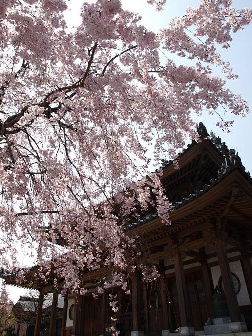 ●円成院の枝垂桜(小平市)