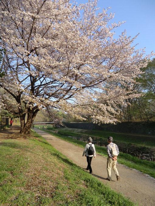 ●散歩の風景Ⅲ(野川遊歩道)