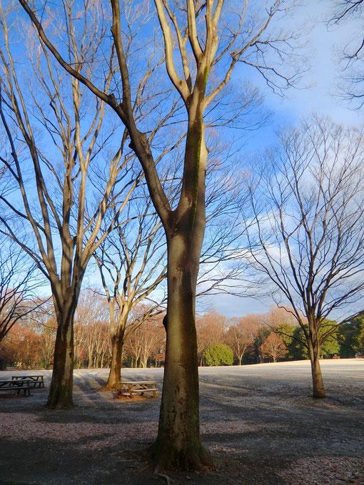 12月23日(2013) 冬木立の公園Ⅰ:神代植物公園・自由広場