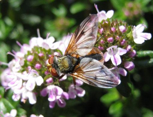 Ectophasia crassipennis su Thymus