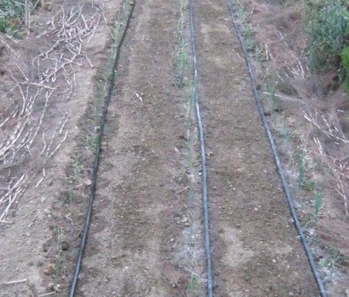 Tutta la copertura tolta e posate le canalette per l'irrigazione a goccia per i porri