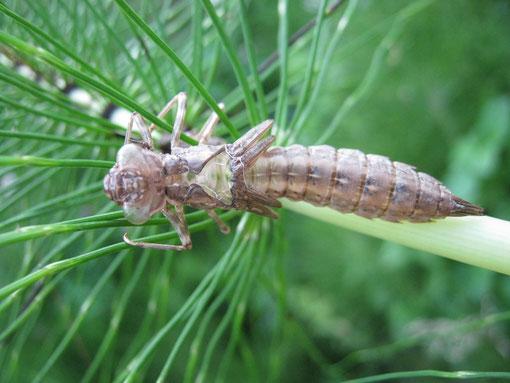 Esuvia di libellula su stelo di equiseto