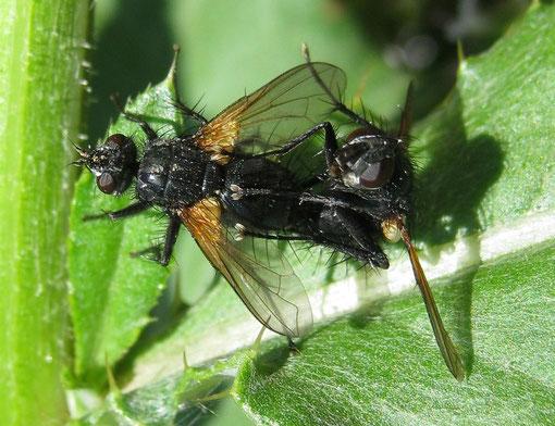 Zophomyia temula in accoppiamento