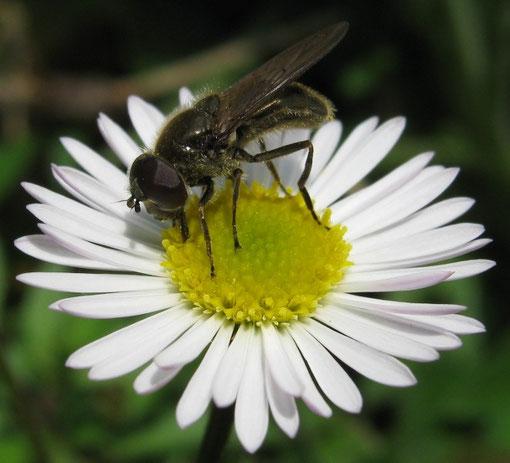 Cheilosia variabilis, pare che si riproduca su Scrophularia, la larva si nutre dei noduli radicali.