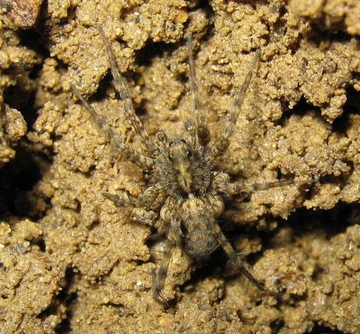 Pardosa hortensis, una delle specie piccole non facili da identificare