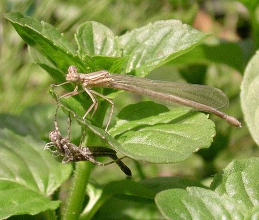 Libellula che ha appena fatto la muta che da animale acquatico la trasforma in insetto alato
