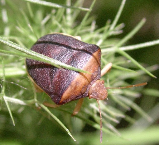Ventocoris rusticus