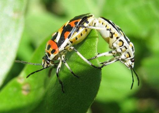 Cimici dell 39 orto benvenuti su biolady - Cimici da letto cause ...