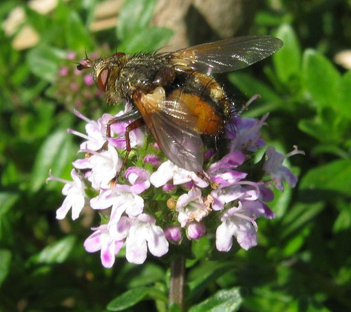 Tachina fera su timo serpillo