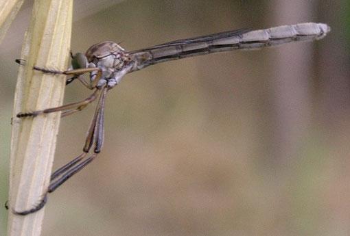 Leptogaster cylindrica, notare le lunghe zampe adatte alla predazione