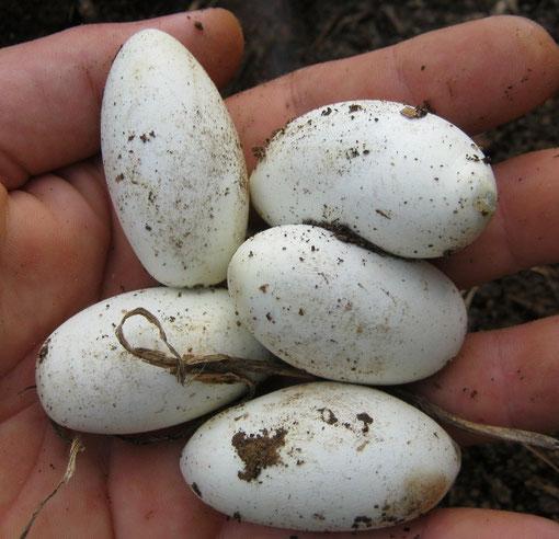 Uova di Zamenis longissimus, due attaccate insieme