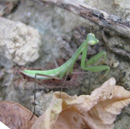 Ninfa di Mantis religiosa