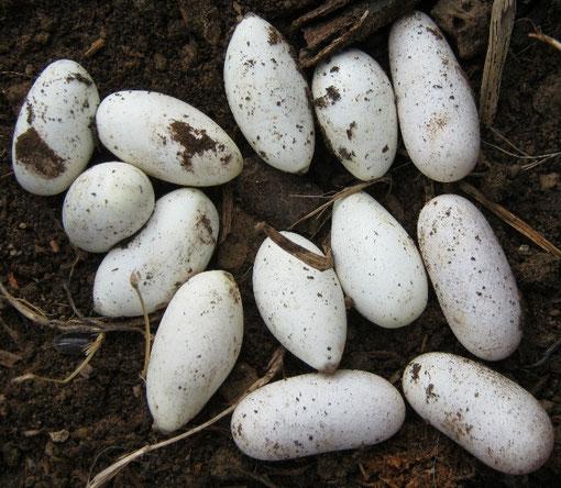 Alla fine 13 uova di forme abbastanza diverse sono uscite dal compost