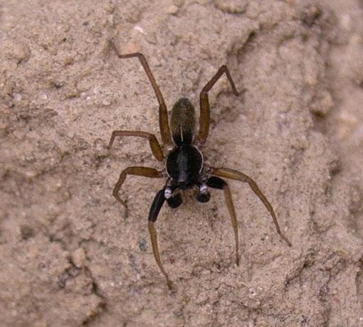 Aulonia albimana, una specie piccola facile da identificare