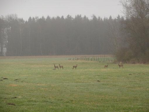 Rehe auf morgendlicher Wiese bei Lohe, Axstedt, Bokel