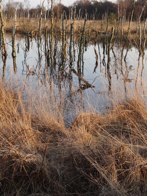 Abgestorbene Birken im Großen Moor bei Bokel  - Torfweg Hollen Heise Oberheise Hollenerheide Hollenerkamp Bokel Langenfelde
